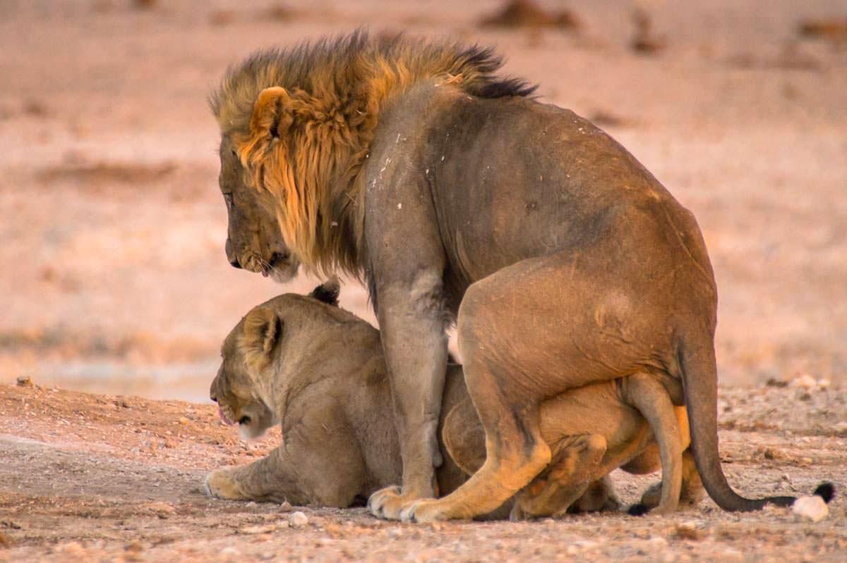 Löwen bei der Paarung im Etosha NP