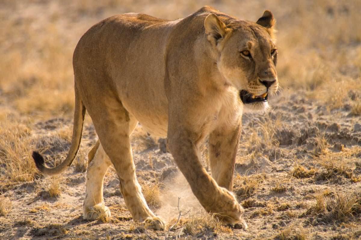 Löwin im Etosha NP
