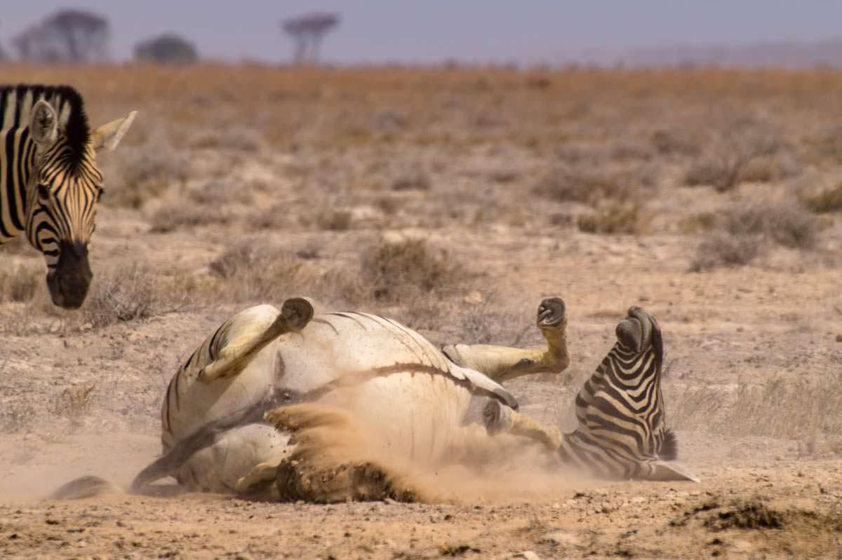 Zebra wälzt sich im Sand (Etosha NP)
