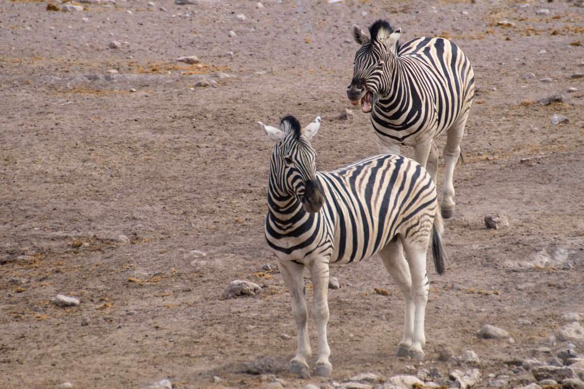 Lachende Zebras im Etosha NP