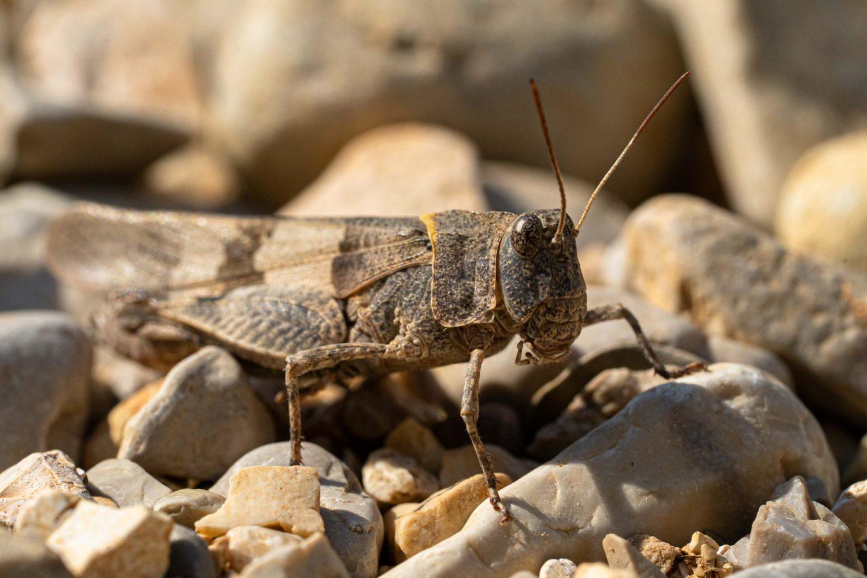 Heuschrecke in Albanien