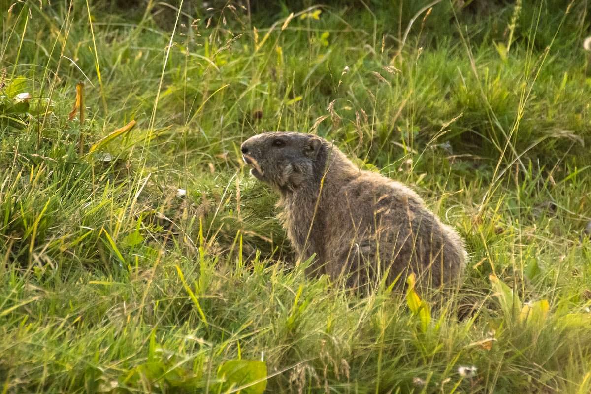 Wenn es abends am Schrecksee ruhig wird, kommen die Alpenmurmeltiere raus