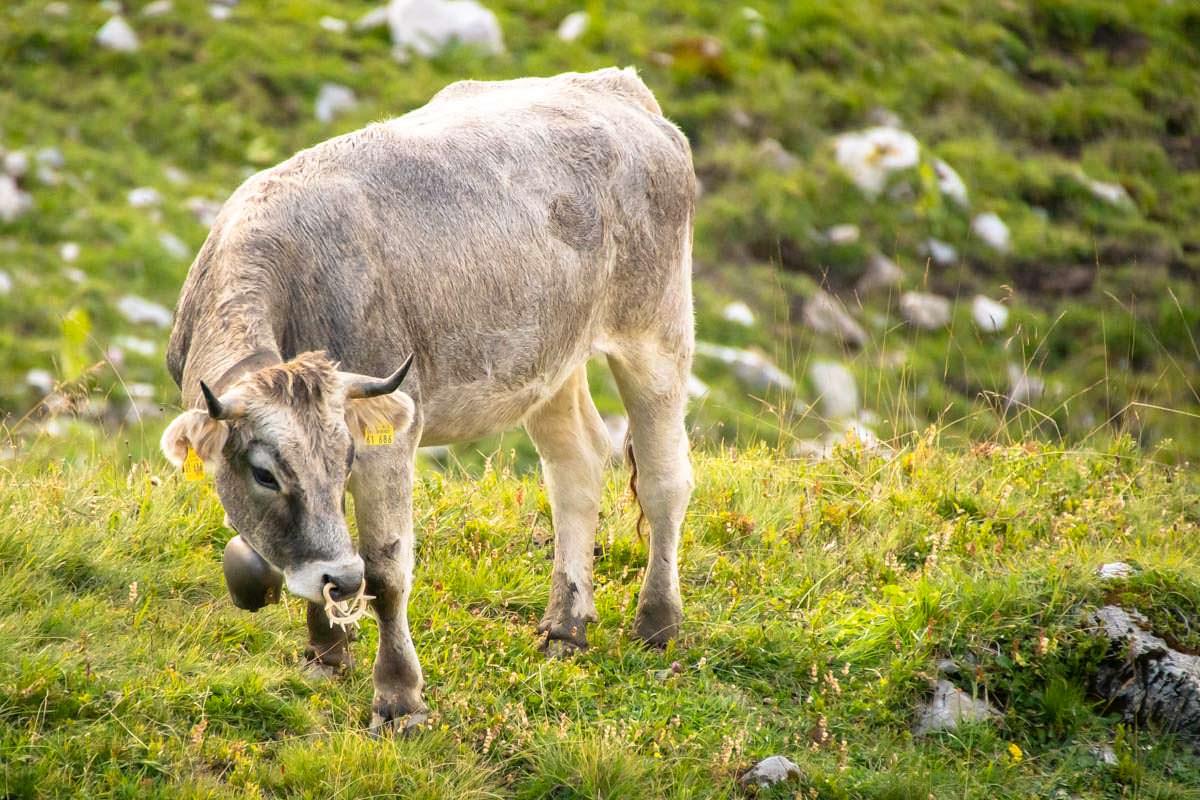 Im Allgäu teilt man sich die Wiesen auch mal mit Jungbullen