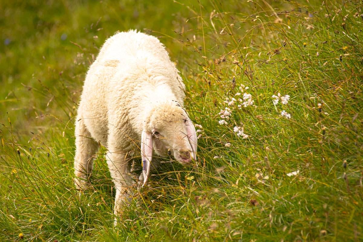 An der Bockkarscharte grasen Schafe