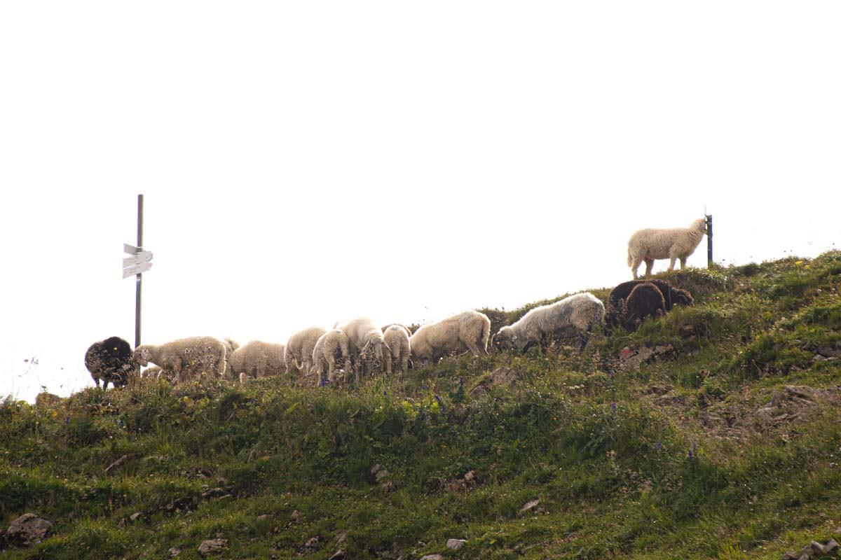An der Bockkarscharte grasen häufig Schafe