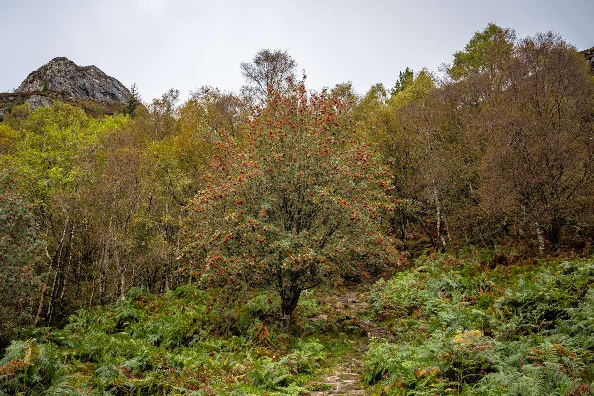 Vogelbeeren, Farne und bunte Bäume prägen die Landschaft am Fuß des Ben Aan