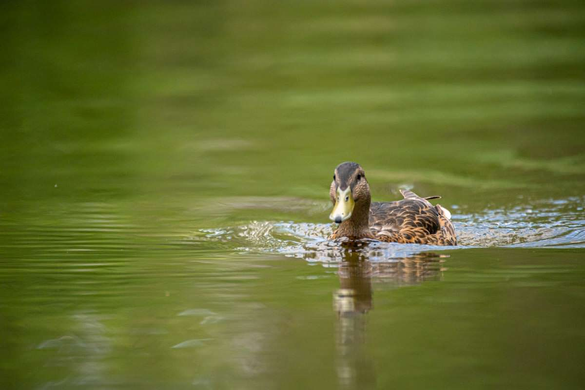 Enten begleiten unser Kanu beim Wasserwandern auf der Oberen Havel