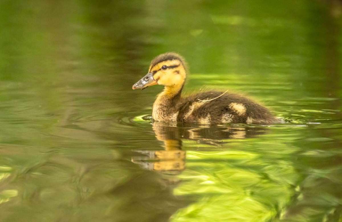 Entenbaby beim Wasserwandern auf der Oberen Havel