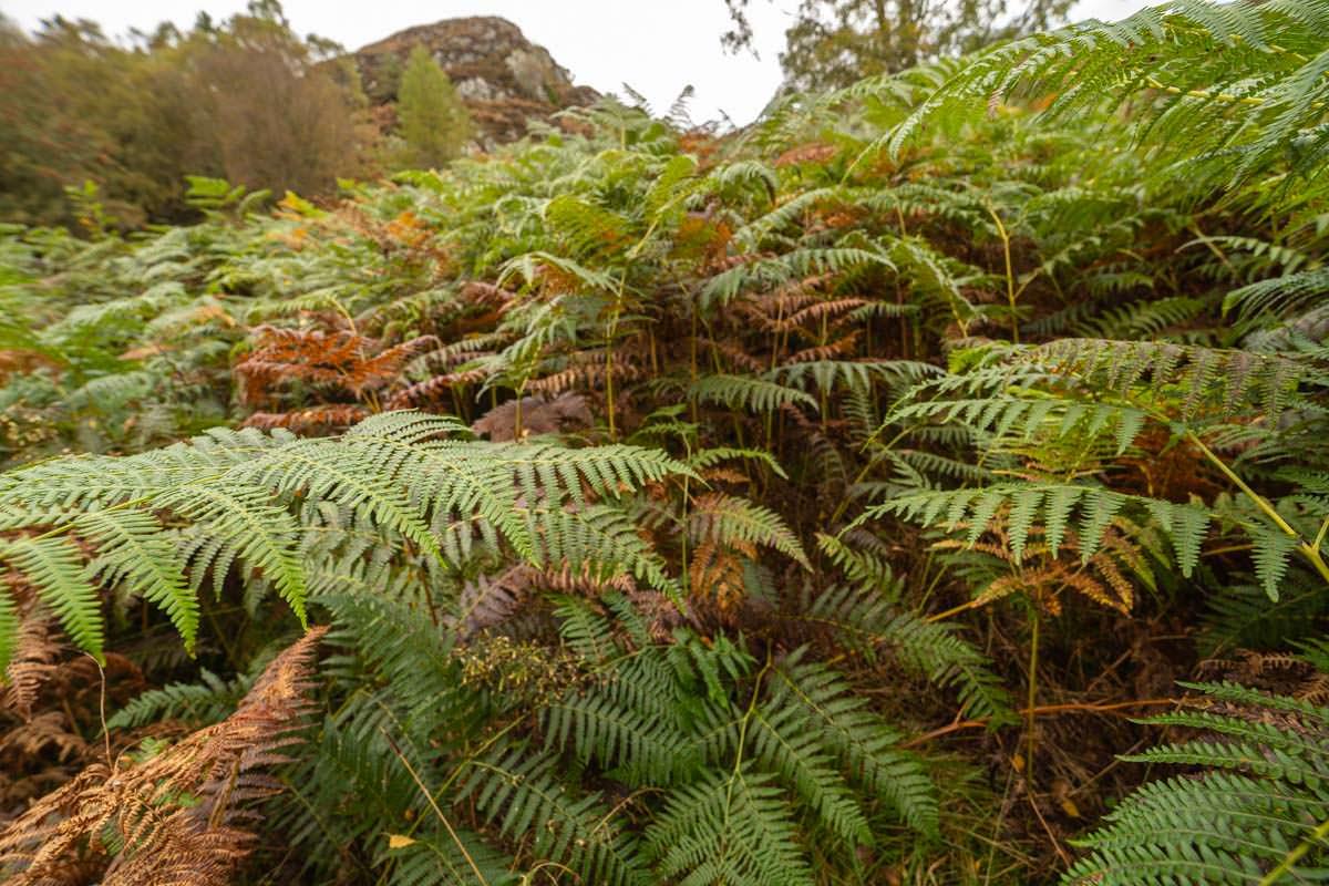 Farne überwuchern die Hänge des Ben Aan in Schottland