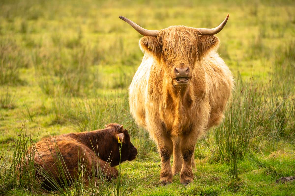 Hochlandrinder im Loch Lomond Nationalpark