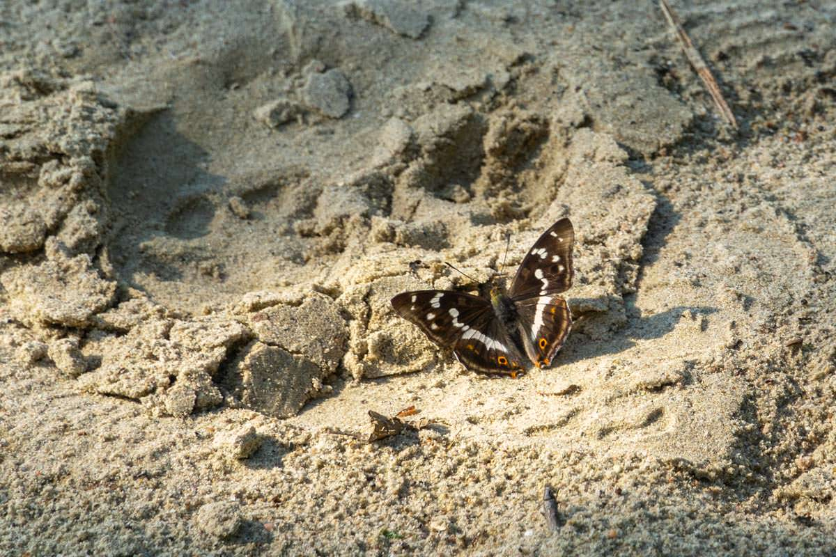 Schmetterling am Sandstrand im Müritz Nationalpark