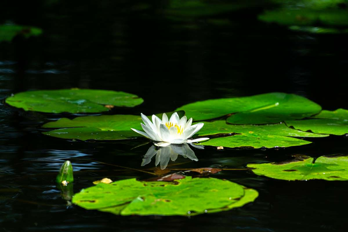 Oft gleitet das Kanu auf der Oberen Havel durch Seerosen