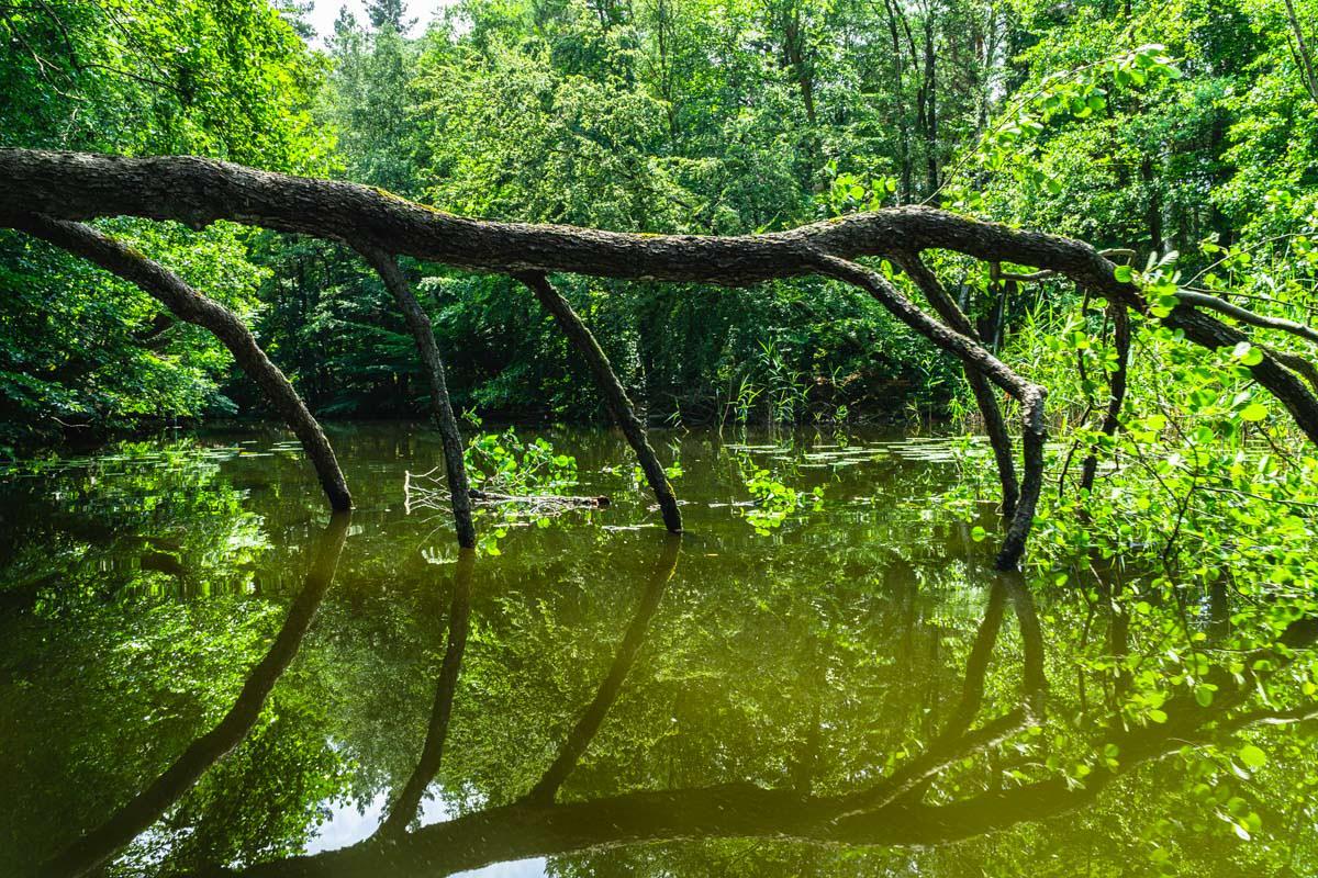 In der Kernzone des Müritz Nationalparks gleitet das Kanu durch umgestürzte Bäume