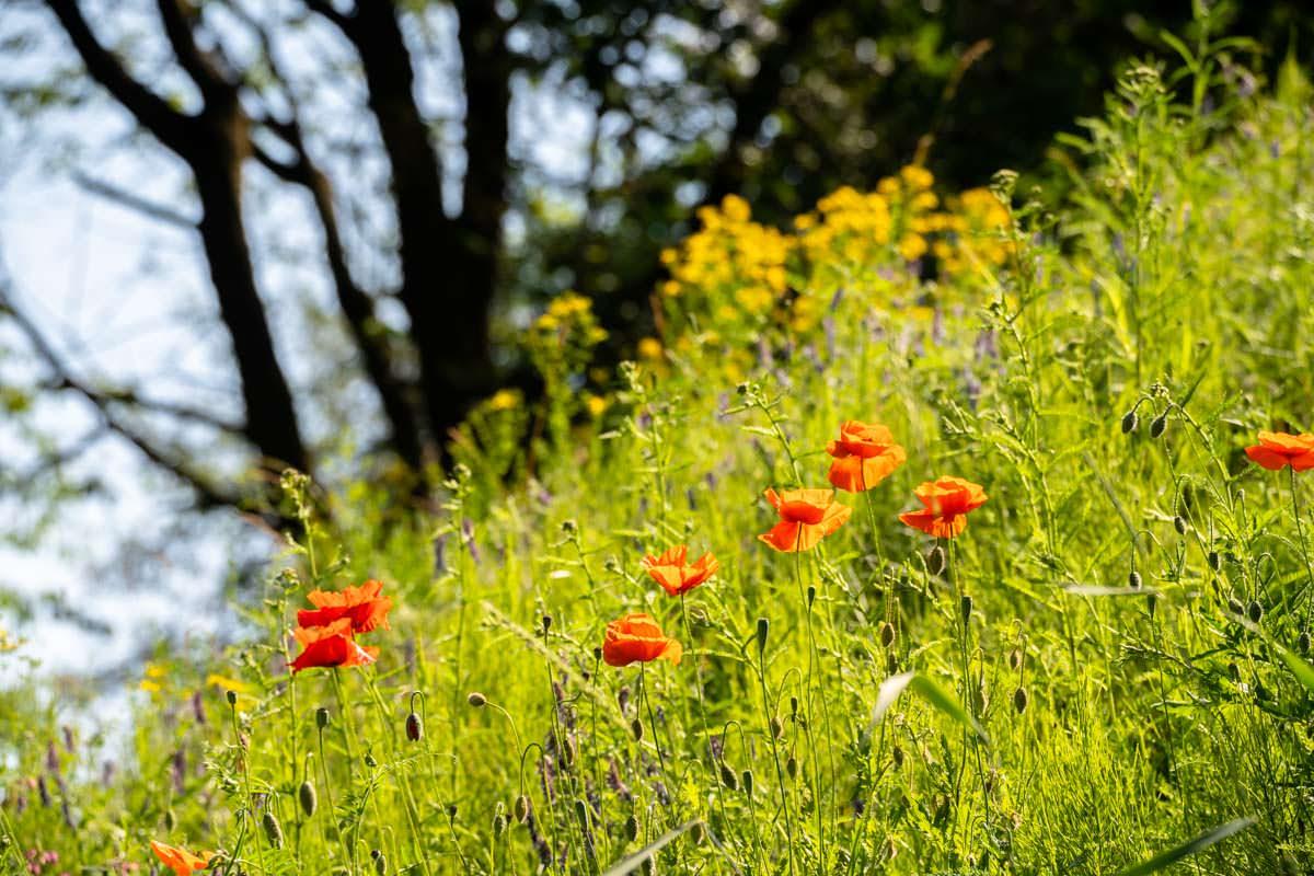 Wildblumenfeld am Kammerkanal