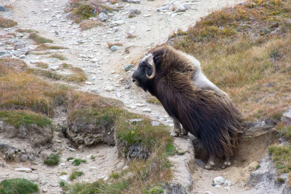 Moschusochsen im Dovrefjell Nationalpark in Norwegen