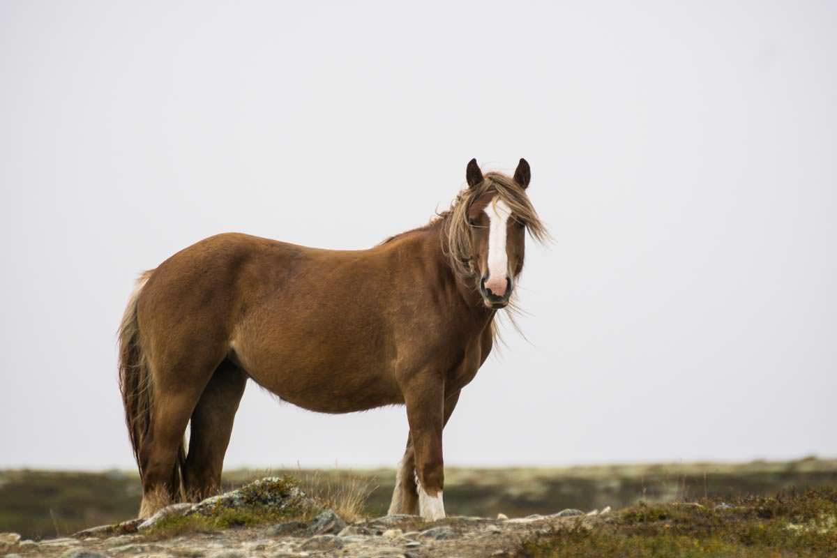 Fjordpferd im Dovrefjell Nationalpark
