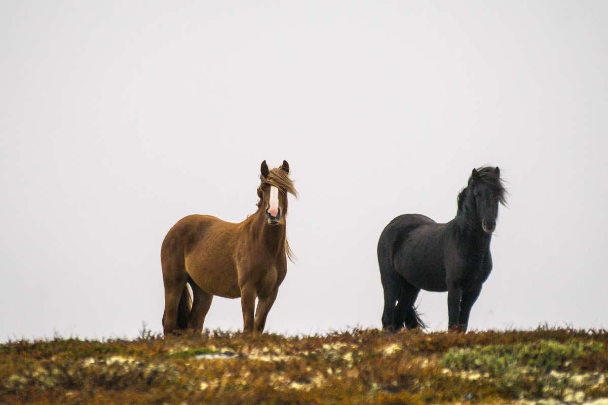 Fjordpferde im Dovrefjell Nationalpark in Norwegen
