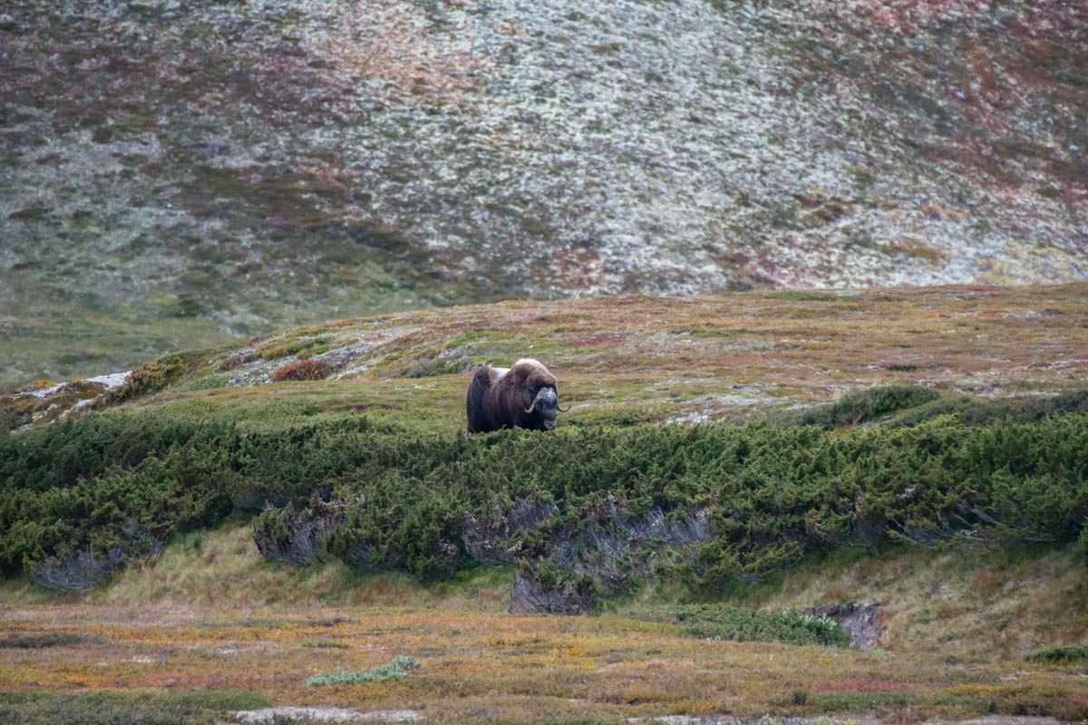 Moschusochsen im Dovrefjell Nationalpark