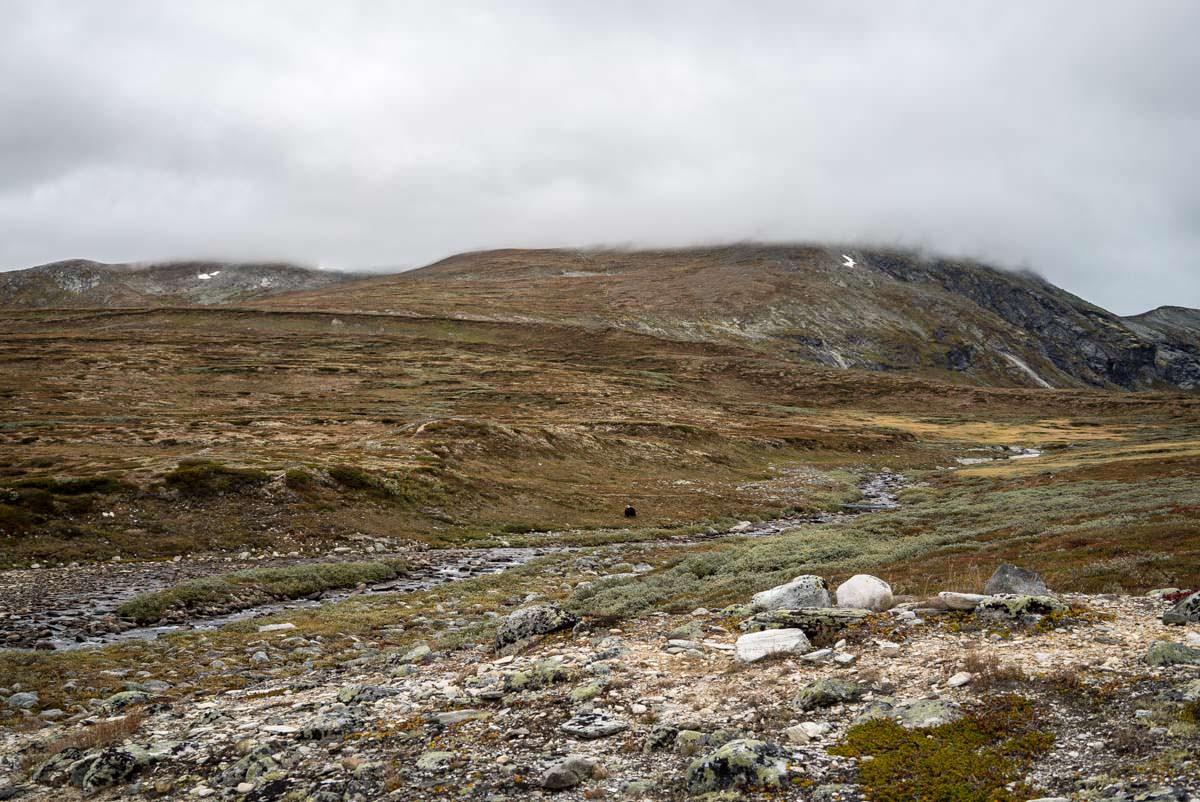 Moschusochsen auf der Wanderung durch das Dovrefjell in Norwegen