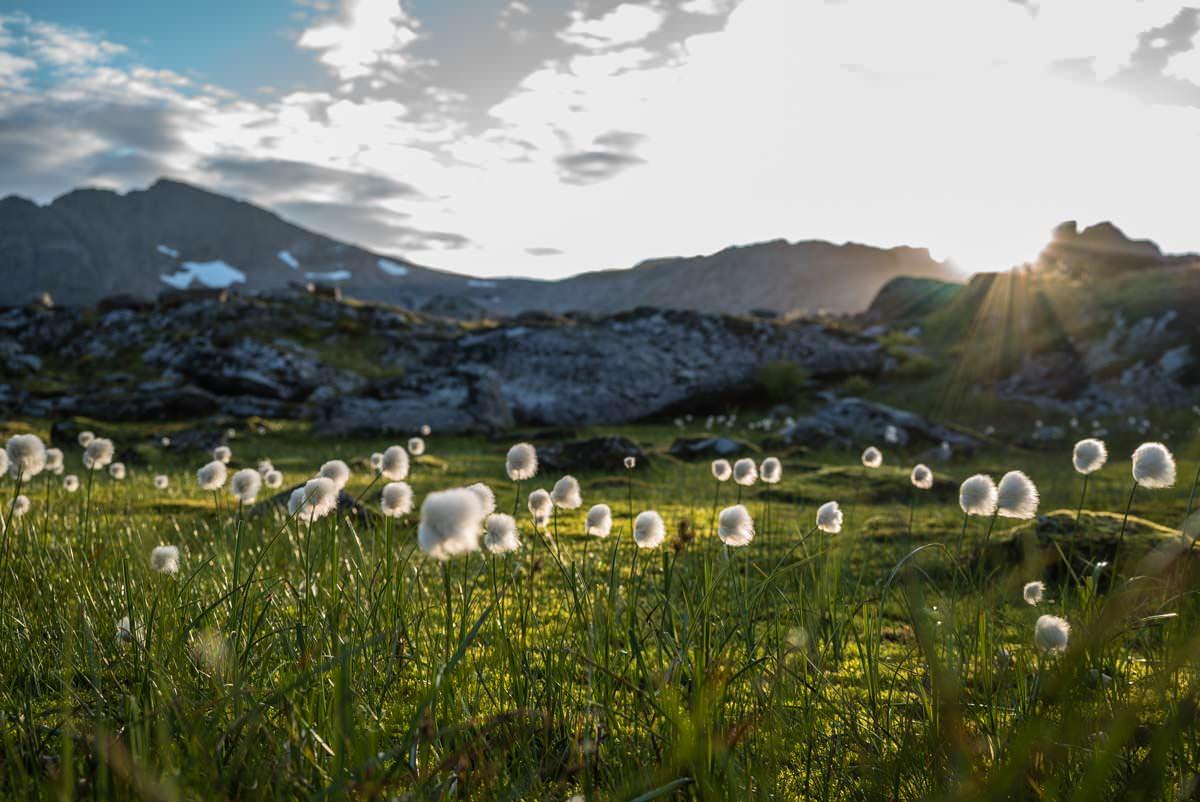 Wollgras in Norwegen