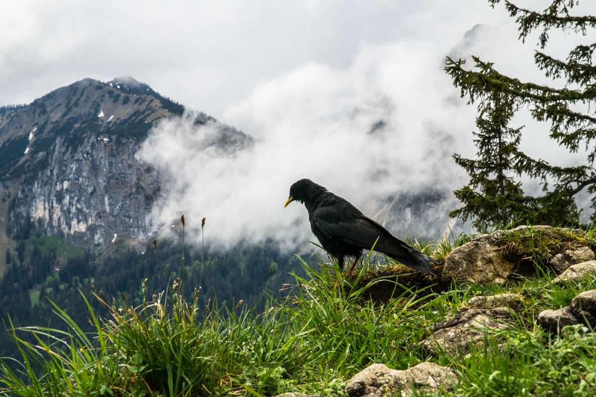 Am Tegelberg sieht man häufig Alpendohlen
