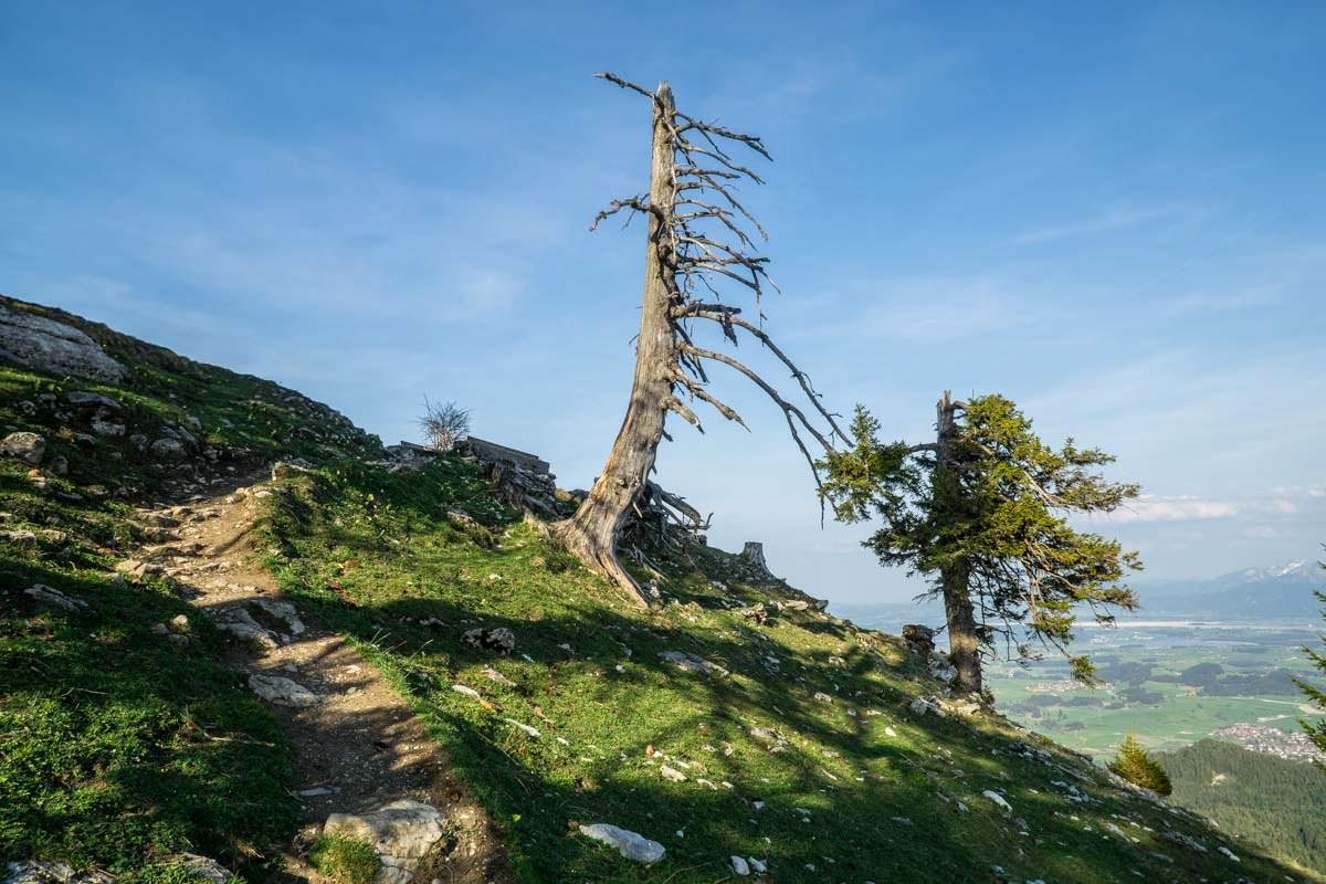 Knorriger Baum kurz vorm Gipfel des Alpspitz
