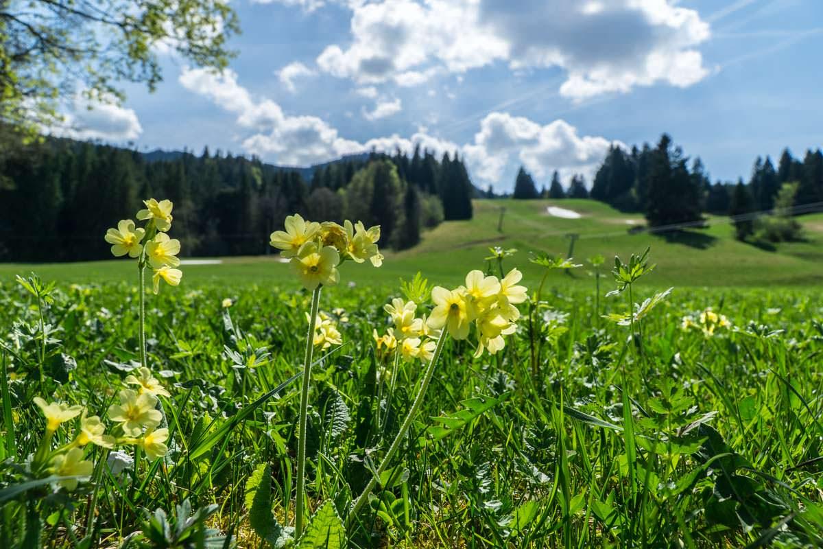Ein Zeichen, dass Frühling ist: die Schlüsselblumen blühen am Alpspitz
