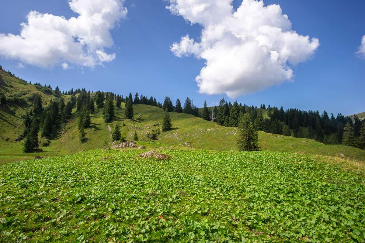 Hochstaudenfluren im Naturpark Nagelfluhkette