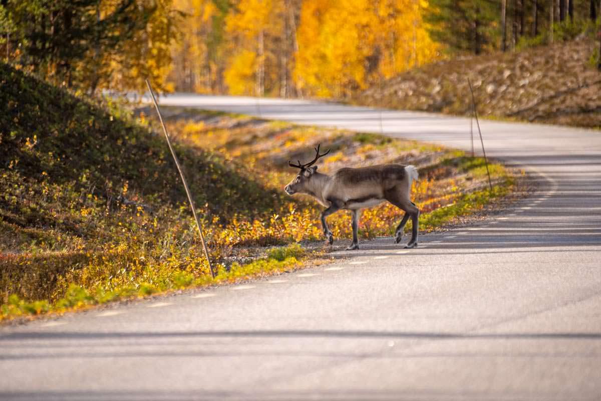 Rentier überquert die 805 Straße von Jokkmokk nach Årrenjarka