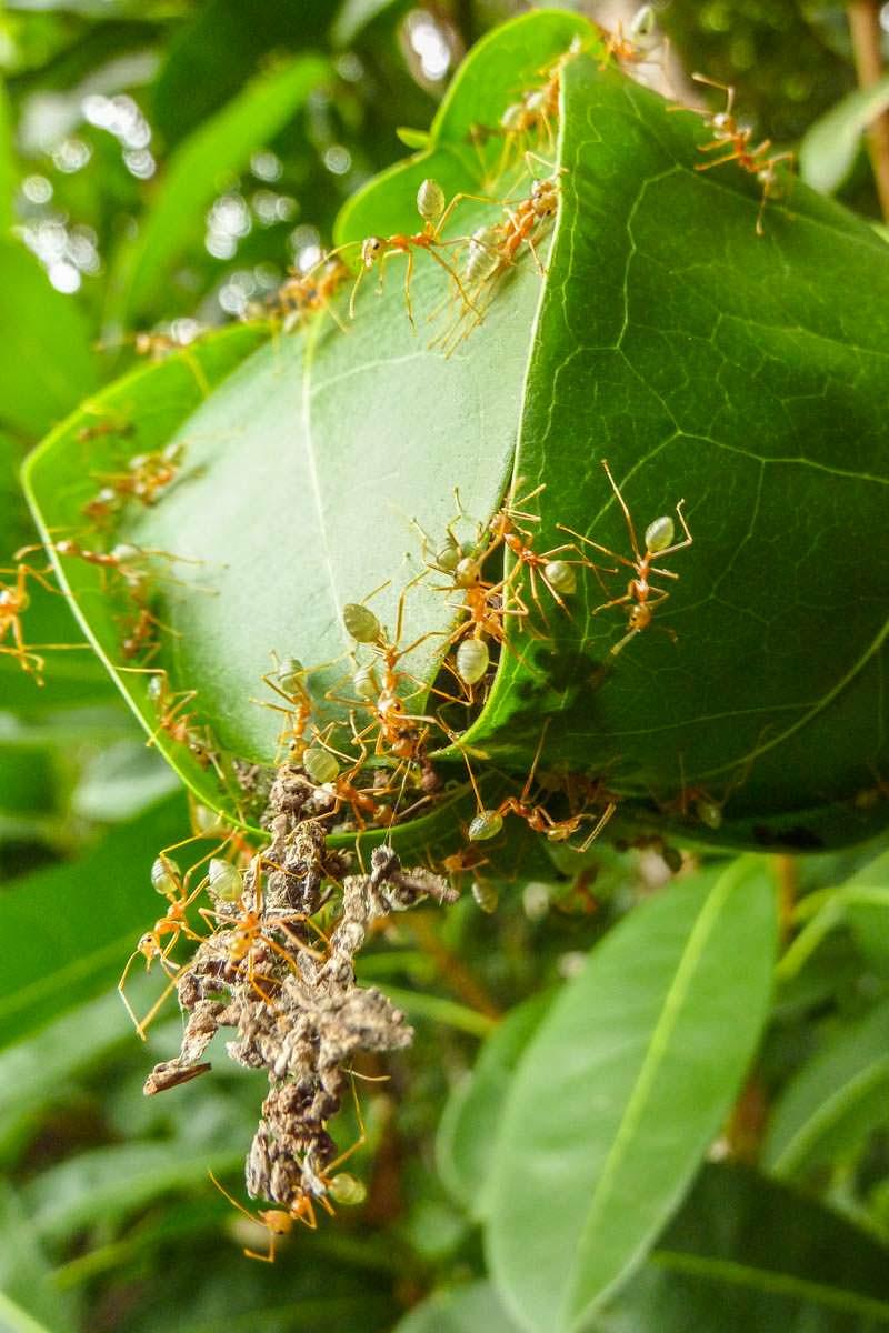 Grüne Ameisen in Australien
