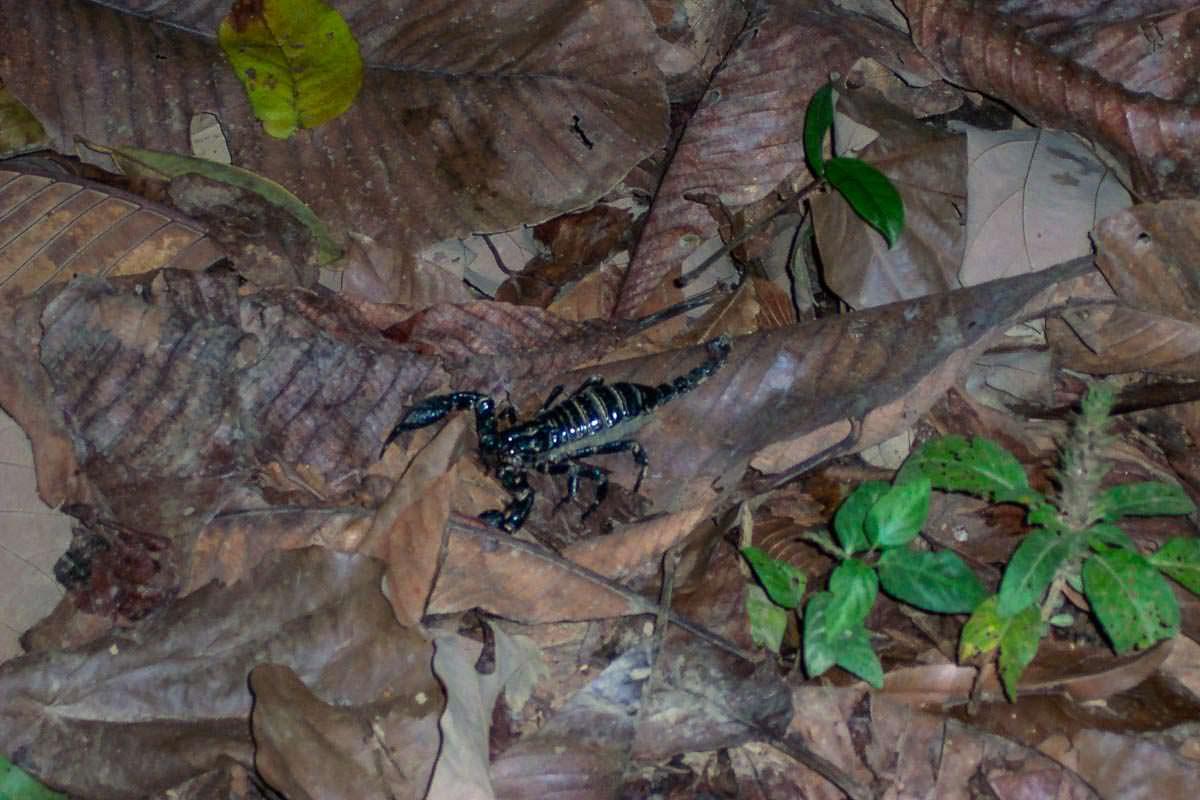 Skorpion im Khao Sok Nationalpark in Thailand