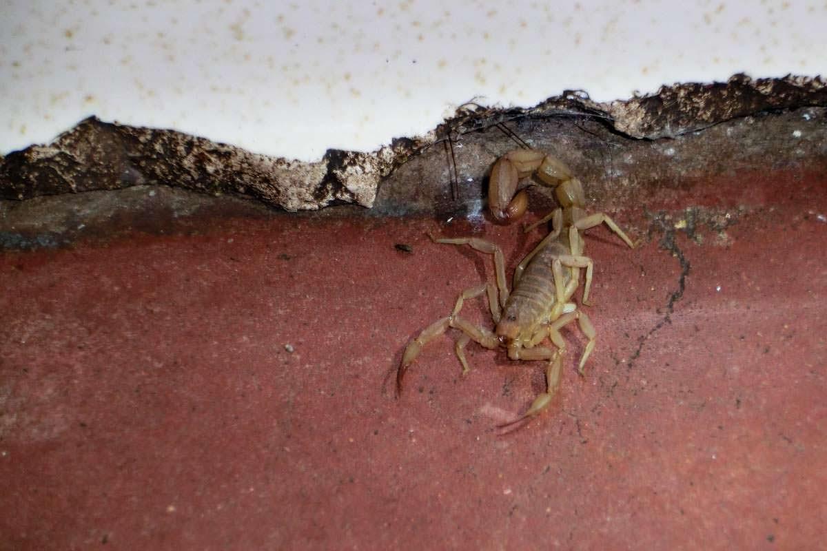 Skorpion in einem Waschhaus in Utah beim Camping