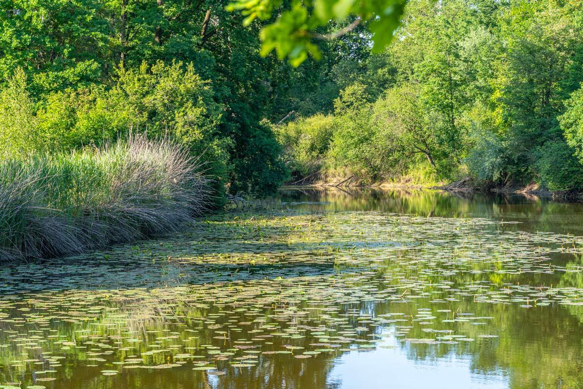 Teichrosen auf dem Altwasser der Schussen