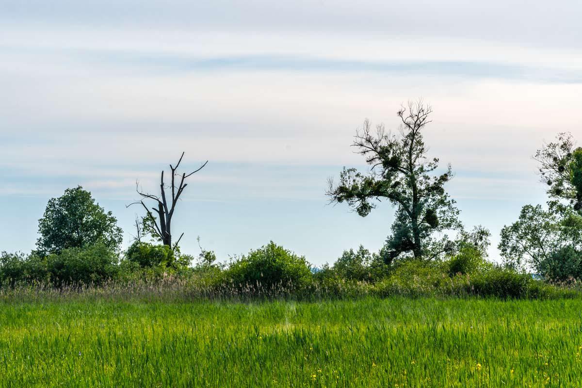 Die Bäume im Eriskircher Ried sitzen voll mit Misteln