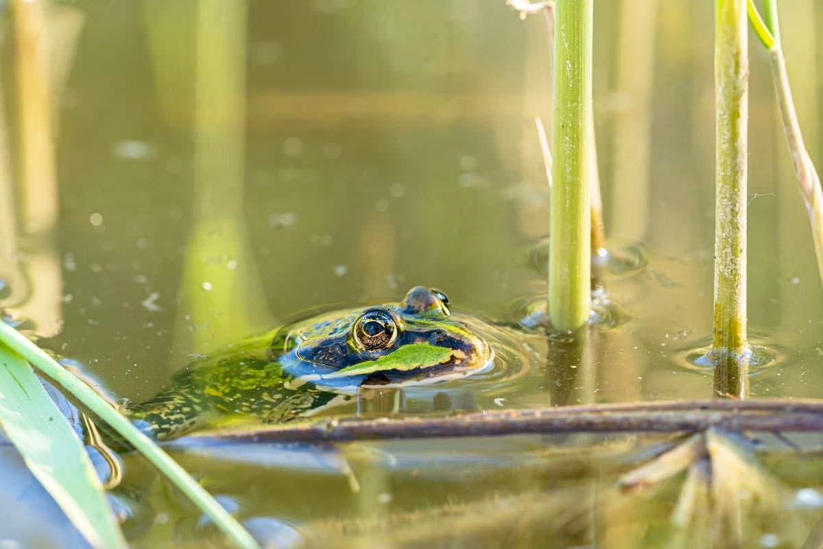 Laubfrosch im Biotop-Teich