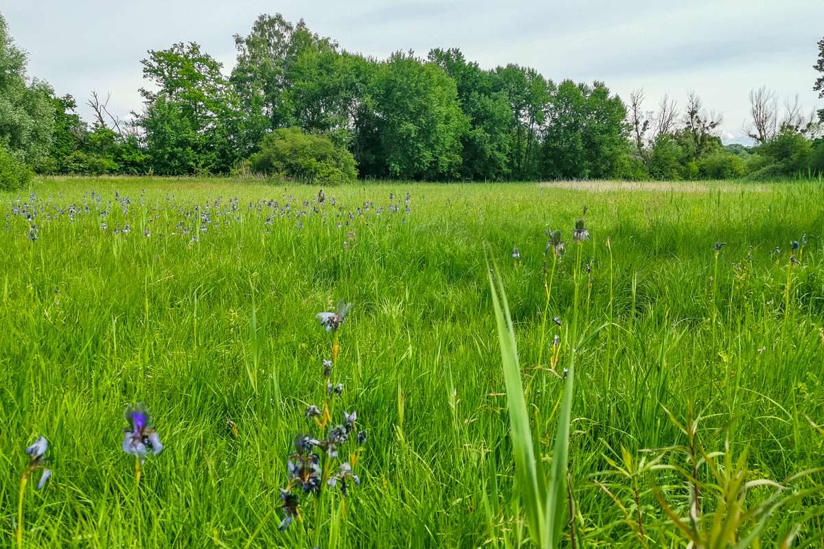 Die Irisblüte im Eriskircher Ried