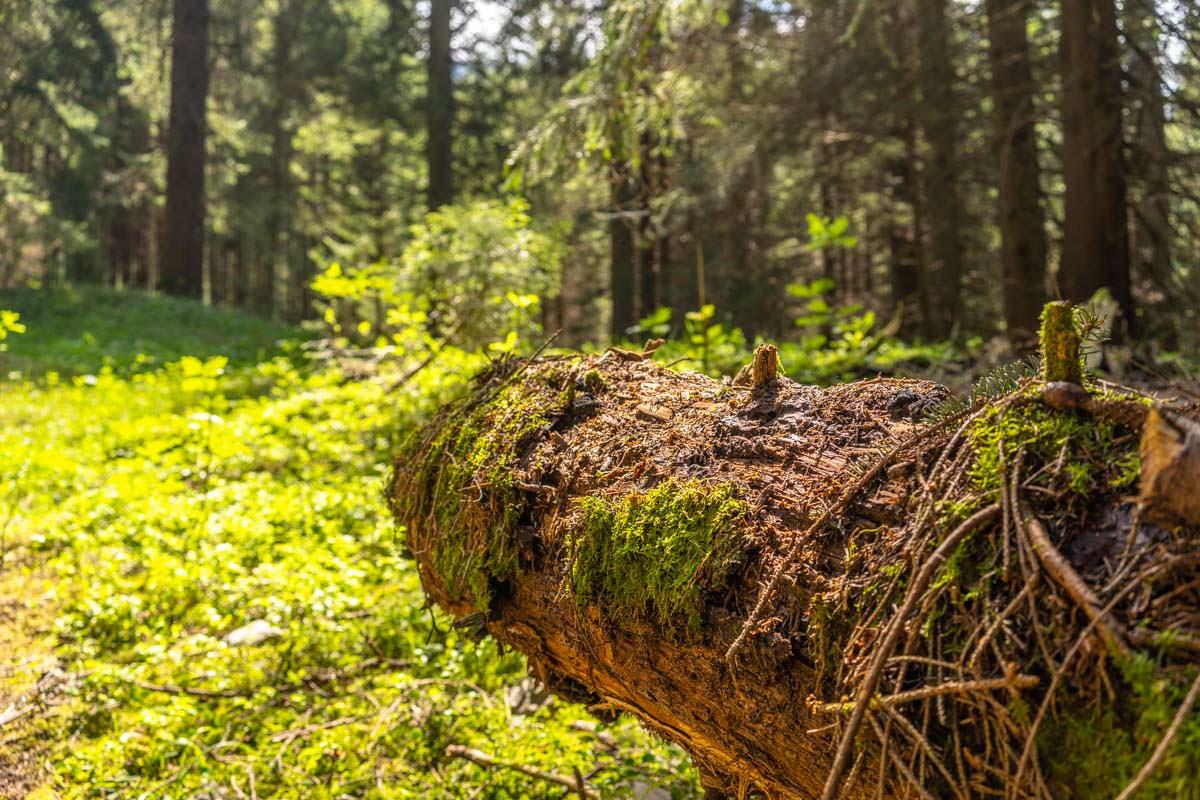 Wald am Hang vom Sonnenkopf im Allgäu