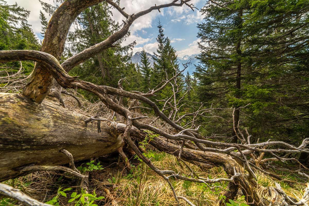 Totholz im Allgäu am Sonnenkopf