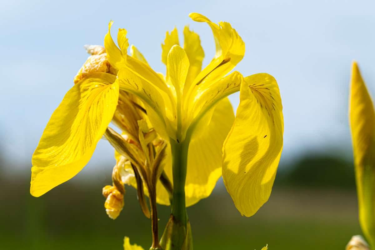 Gelbe Wasser Schwertlilie im Eriskircher Ried